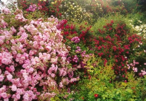 banks of roses