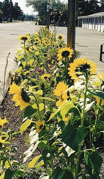 Woody's sunflowers