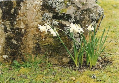 naturalized narcissi