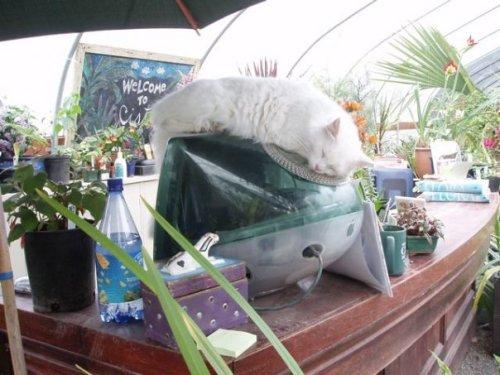 cat at Cistus nursery