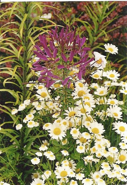 Cleome and feverfew