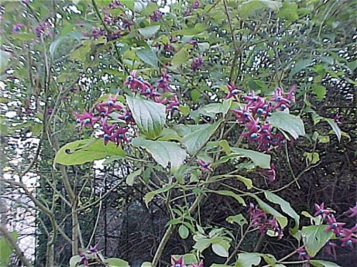 Clerodendron in my garden, the best bloom I ever had from it.