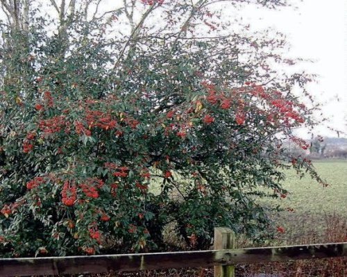 Cotoneaster berries across the street from a Seaview job
