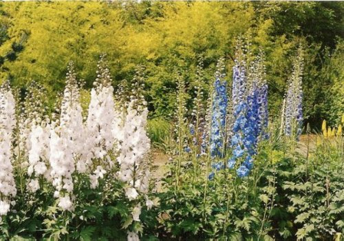 English delphiniums at Joy Creek Nursery