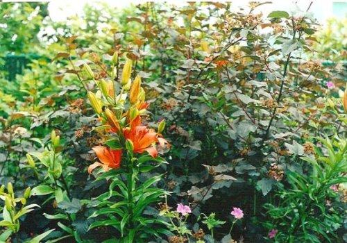 Lily and Physocarpus 'Diablo'