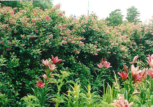 lily and fully grown Escallonia hedge
