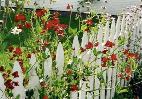 sweet peas on the house picket fence at Andersen's