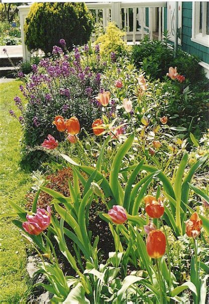 front garden with tulips and Erysimum 'Bowles Mauve'