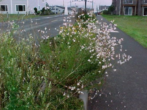 Gaura on the beach approach