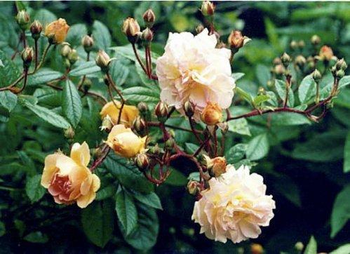 Rose 'Ghislane de Feligonde'