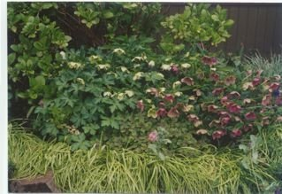 hellebores in that same area a few years later