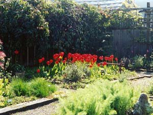 back garden of herbs with bright tulip display