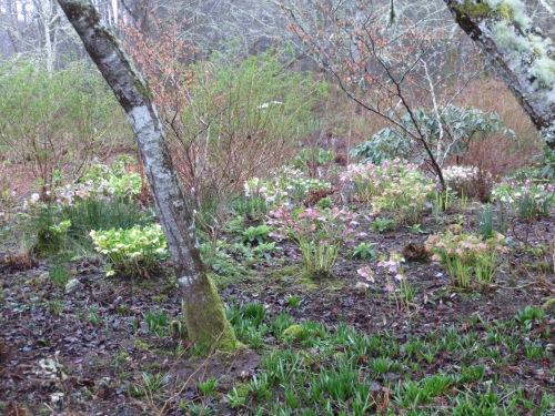 Huson garden hellebores