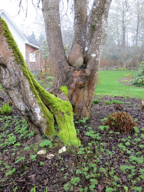 Huson garden, moss and pear