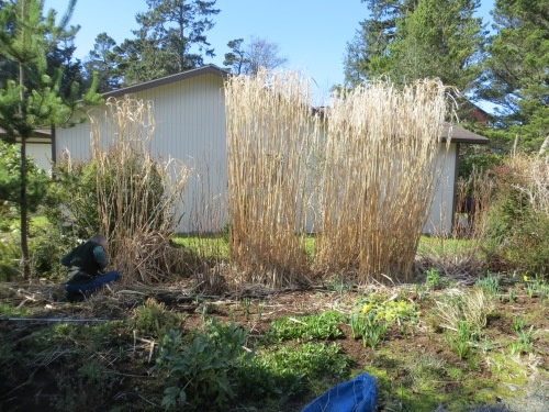 today, before chopping the big Miscanthus