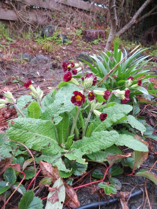 primrose near the hellebores