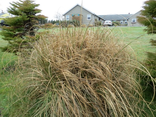 unchopped pampas