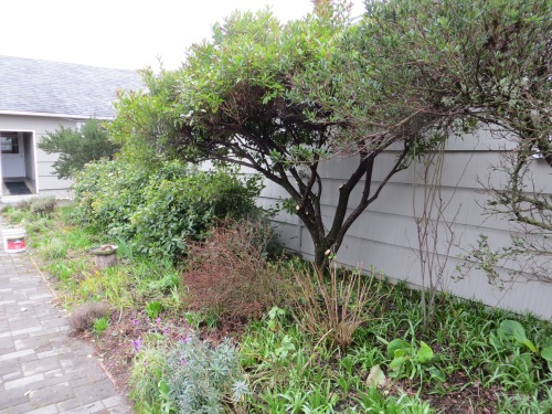 after pruning...no before photo