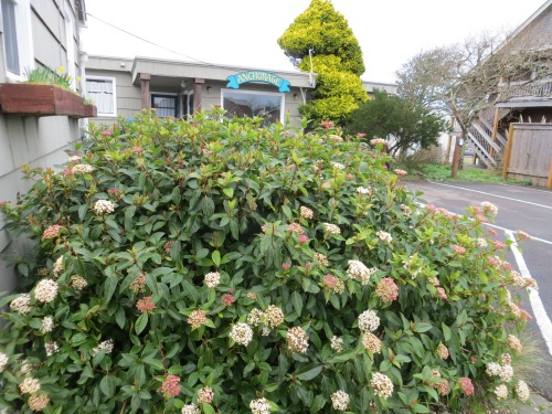 Digression one: Viburnum at the Anchorage