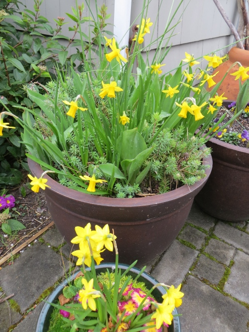 Digression two:  pots of Narcissi by the office door