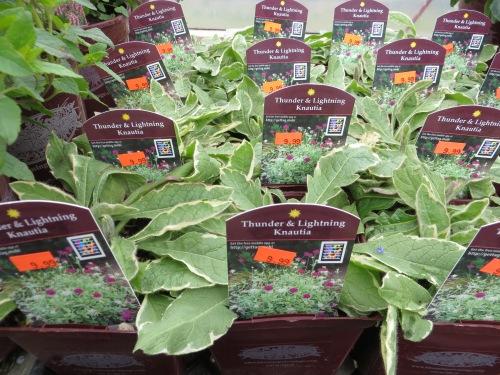 a variegated Knautia!