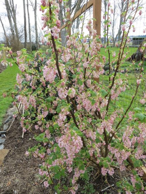 Ribes sanguineum 'Apple Blossom'