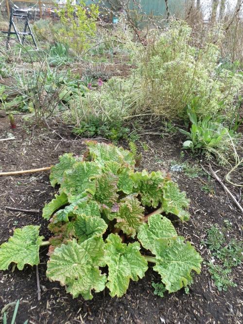 Rhubarb leafing out