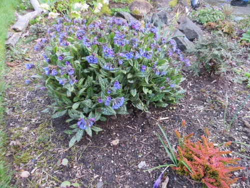 another pulmonaria