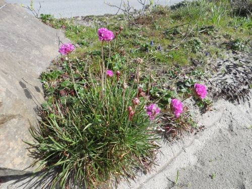 a sea thrift blooming at the west end