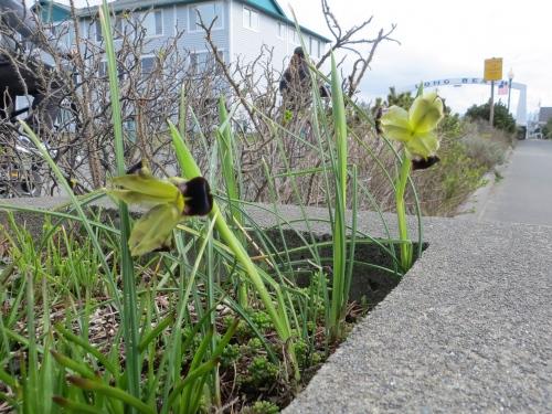 in a planter:  Hermodactylus iris tuberosus