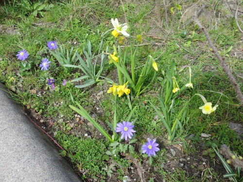 at ground level: species Narcissi and Anemone blanda