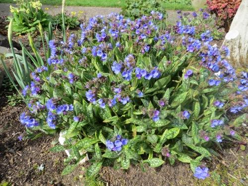 a blue pumonaria