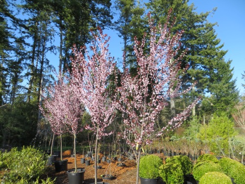 'Thundercloud' flowering plum