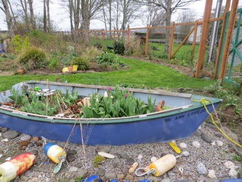 The tulips are almost ready to bloom in the garden boat.