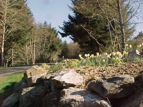 Narcissi at Discovery Heights