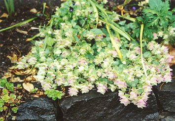 atop the wall: Origanum rotundifolium (ornamental oregano)
