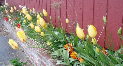 Donna's tulips
