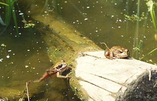 frogs in the natural pond