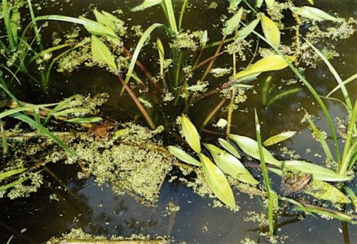 frogs in my pond, summer 2004