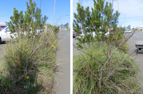 before and after (Stipa gigantea, my favourite ornamental grass)