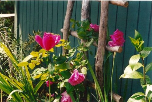 Roses on the Seanest trellis