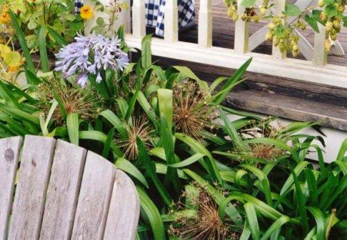 Agapanthus and Allium seedheads