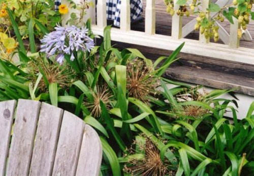Agapanthus and Allium seedheads