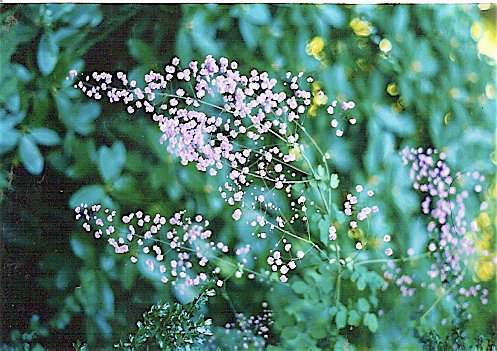 Thalictrum 'Hewitt's Double' by our upper patio, spring '99