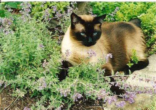 KBC's new cat, Tommy, in the catmint.