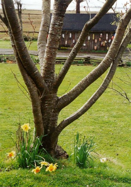 tree with Narcissi at China Beach