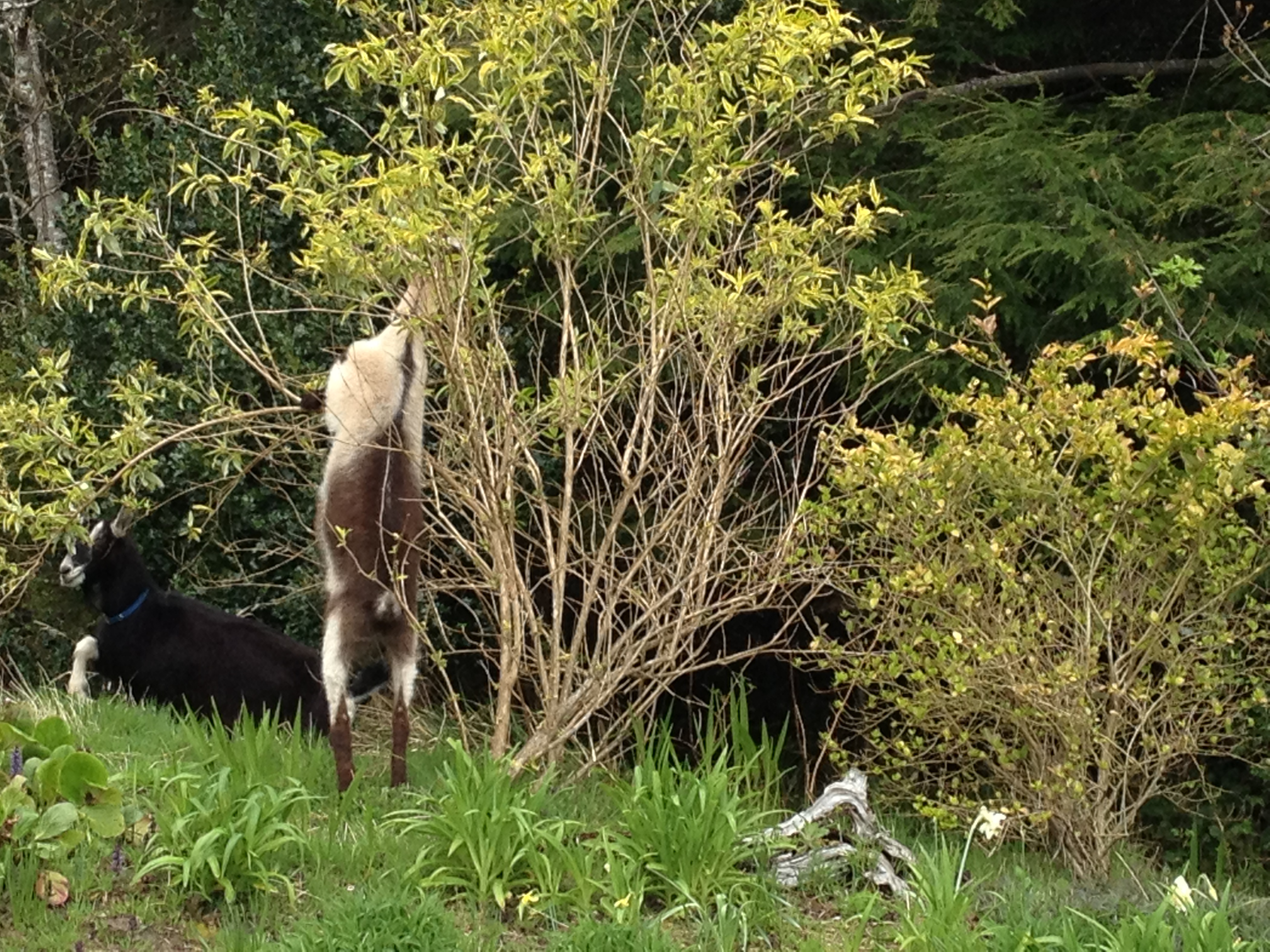 goats in the garden | Tangly Cottage Gardening Journal