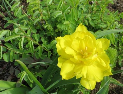 a stunning yellow tulip