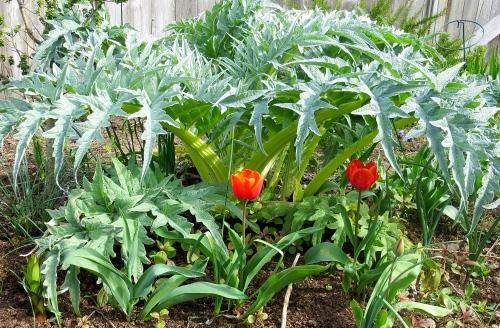tulips and cardoon