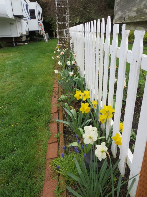 narcissi along the picket fence